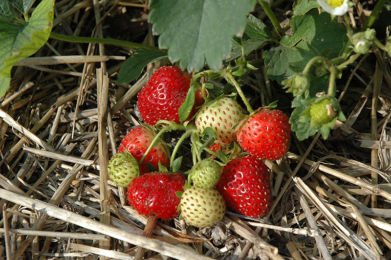Everbearing Strawberry (Fragaria 'Everbearing') at Hillside Gardens