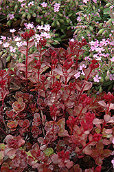 Red Carpet Stonecrop (Sedum spurium 'Red Carpet') at Hillside Gardens
