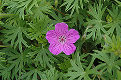 Tiny Monster Cranesbill (Geranium 'Tiny Monster') at Hillside Gardens