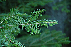 Balsam Fir (Abies balsamea) at Hillside Gardens
