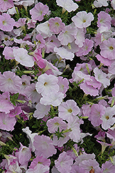 Wave Misty Lilac Petunia (Petunia 'Wave Misty Lilac') at Hillside Gardens