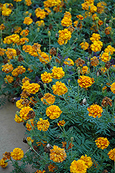 Zenith Orange and Red Marigold (Tagetes patula 'Zenith Orange and Red') at Hillside Gardens