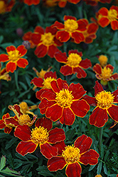 Disco Red Marigold (Tagetes patula 'Disco Red') at Hillside Gardens