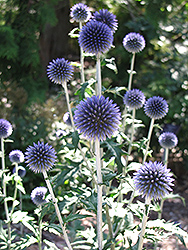 Veitch's Blue Globe Thistle (Echinops ritro 'Veitch's Blue') at Hillside Gardens