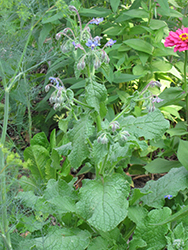 Borage (Borago officinalis) at Hillside Gardens
