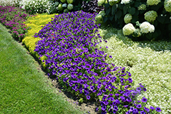 Supertunia® Royal Velvet® Petunia (Petunia 'Supertunia Royal Velvet') at Hillside Gardens