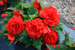Nonstop® Red Begonia (Begonia 'Nonstop Red') at Hillside Gardens