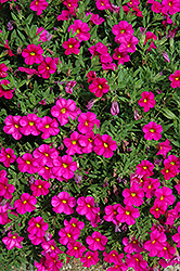 Callie® Rose Calibrachoa (Calibrachoa 'Callie Rose') at Hillside Gardens