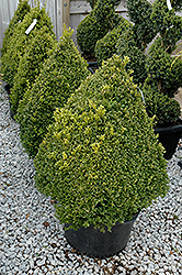 Green Mountain Boxwood (pyramid form) (Buxus 'Green Mountain (pyramid)') at Hillside Gardens