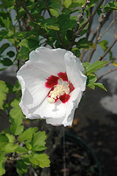 Red Heart Rose Of Sharon (Hibiscus syriacus 'Red Heart') at Hillside Gardens