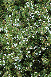 Winter Savory (Satureja montana) at Hillside Gardens