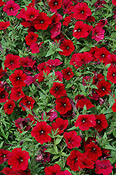 Easy Wave® Red Velour Petunia (Petunia 'Easy Wave Red Velour') at Hillside Gardens