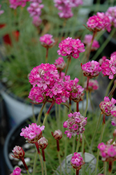 Splendens Sea Thrift (Armeria maritima 'Splendens') at Hillside Gardens