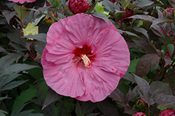 Summerific® Berry Awesome Hibiscus (Hibiscus 'Berry Awesome') at Hillside Gardens