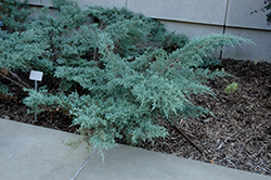 Angelica Blue Juniper (Juniperus x media 'Angelica Blue') at Hillside Gardens