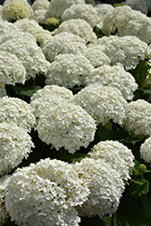 Incrediball® Hydrangea (Hydrangea arborescens 'Abetwo') at Hillside Gardens