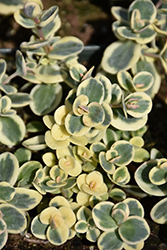 Lime Twister Stonecrop (Sedum 'Lime Twister') at Hillside Gardens