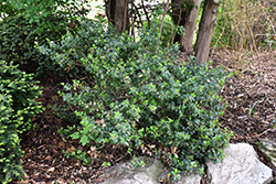 Blue Prince Meserve Holly (Ilex x meserveae 'Blue Prince') at Hillside Gardens